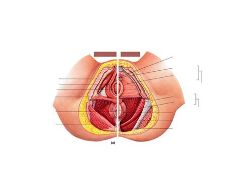 Muscles Of The Pelvic Floor Quiz by Muscles Of Pelvic Floor