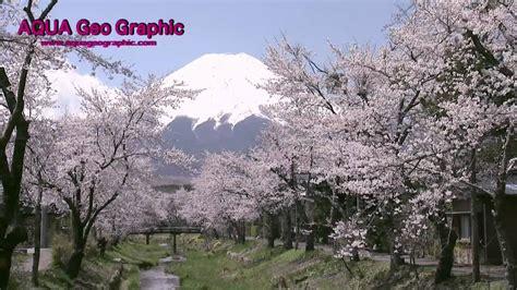 Cherry Blossom In Japan 日本の桜 Hd 1280×720p
