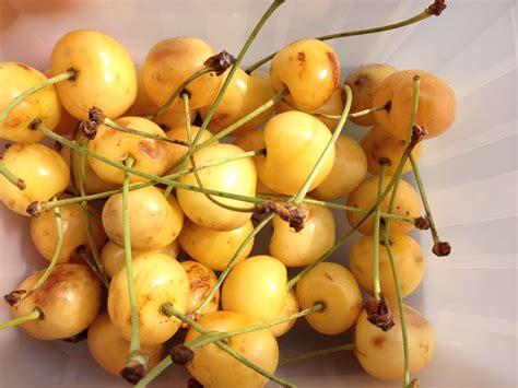 cerises jaunes ca croque cest acidule cest fruite cest bon bien dans ma cuisine