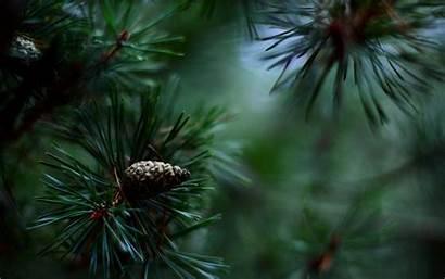 Pine Tree Christmas Nature Fir Needles Flower