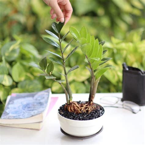 ต้นกวักมรกต ไม้ที่ร่ม ฟอกอากาศ ในกระถางเซรามิคญี่ปุ่น | Shopee Thailand