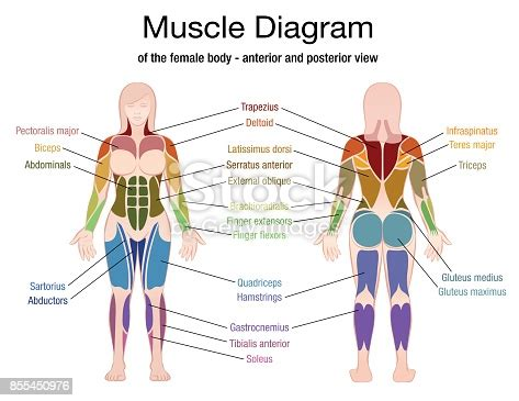 The muscular system is responsible for the movement of the human body. Muscle Diagram Of The Female Body With Accurate Description Of The Most Important Muscles Front ...
