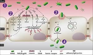 Invasive Lifestyles Of Pathogenic E  Coli On Behance