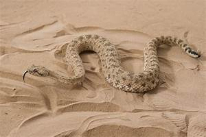 Scientists Study Sidewinding Reptiles To Improve Snakebot