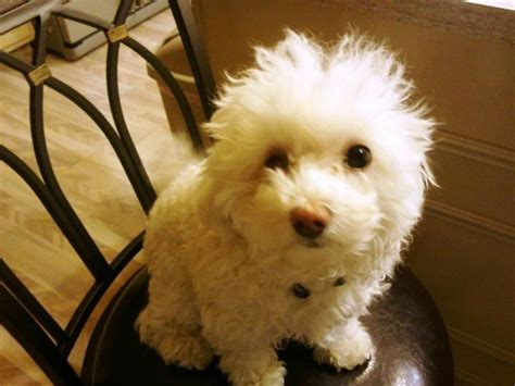 Maltipoo Maltese Poodle Breed Information And P Os Thriftyfun