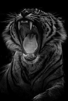 johnnybravo sumatran tiger  ondrej chvatal