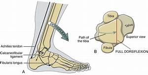 Structure and Function of the Ankle and Foot ...