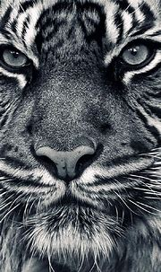 Grey Tiger iphone background wallpaper | Pet tiger, Tiger ...