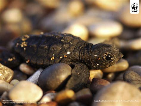 Images Of Turtles Marine Turtles Wwf