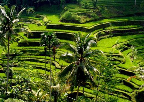 bali rice visit ubud terrace information travelonline