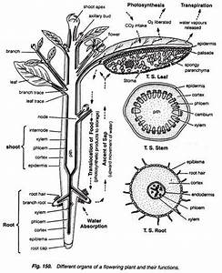 Body Plan Of A Dicotyledonous Plants  With Diagram