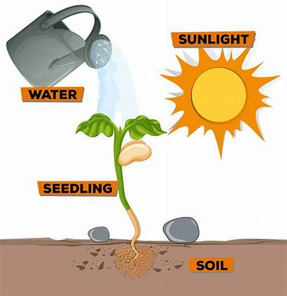 Sunlight Plant Water Growing Diagram Showing Clip