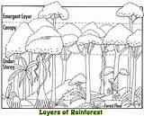 Rainforest Layers Animals Coloring Plants Facts Canopy Layer Emergent Amazon Tropical Trees Project Clip Habitat Sketch Preschool Activities Drawings Jungle sketch template