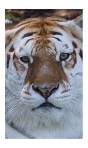 Rama the bengal tiger at Dreamworld dies on Gold Coast