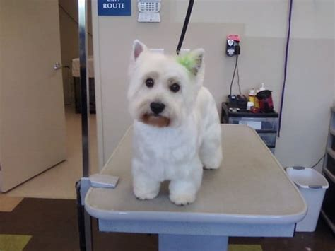 Westie Girl With Her Finished Haircut