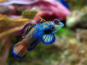 Mandarinfish Synchiropus splendidus Care from Exotic