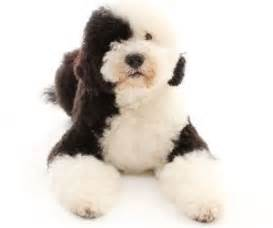 learn all about the portuguese water dog a non shedding