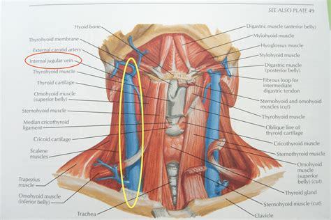 Images Of Throat Throat Anatomy Pictures Tonsil Pictures