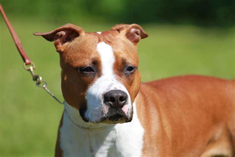 american staffordshire terrier dcbt ev