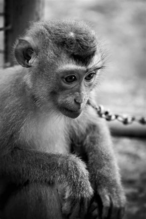 waiting monkey black white  martin pot redbubble