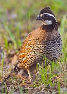 60 best images about Partridges and quails on Pinterest ...
