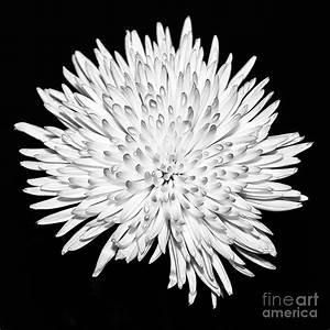 Spider Chrysanthemum Photograph by John Farnan