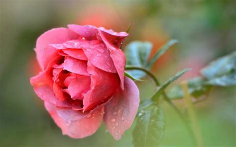 single red rose flower water drops wallpaper flowers
