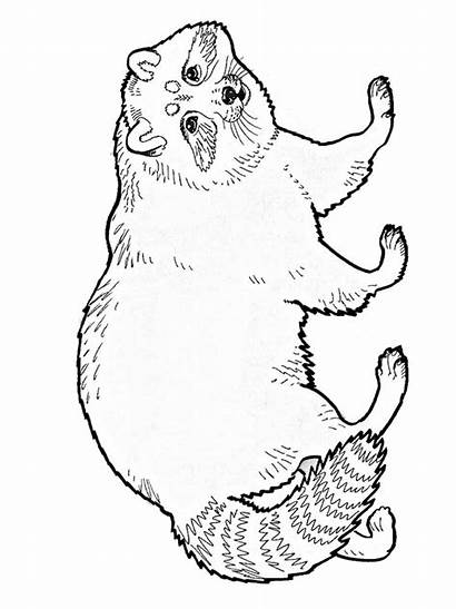Raccoon Coloring Pages Racoon Animal Adult Animals