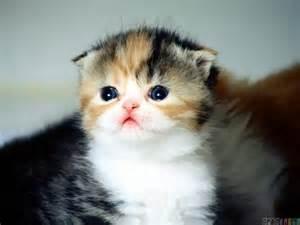munchkin cat scottish fold scottish fold kitten wallpaper 11825 open walls
