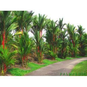 Mudas de Palmeira Laca Vermelha ( Cyrtostachys Lakka ) R ...