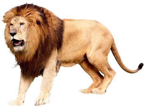 lion png image purepng  transparent cc png image