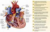 DOCTORCITO: EL CORAZÓN (Válvulas y Circulacion)