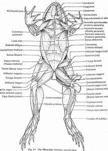 Frog Muscular System  Ventral View