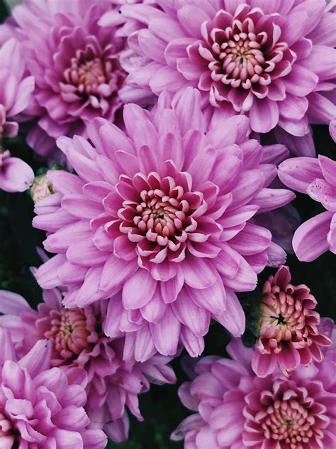 """Tom thumb series (impatiens balsamina), which is a dwarf variety with large, double, brightly colored flowers. rapidconversation: """"Pink Chrysanthemums   September 2017 ..."""