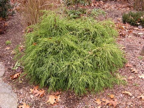 small shrubs compact evergreen shrubs www pixshark com images galleries with a bite