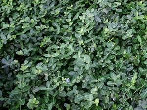 Kletterpflanzen Immergrün Winterhart : kleinbl ttrige teppichspindel kriechspindel 39 minimus ~ Michelbontemps.com Haus und Dekorationen