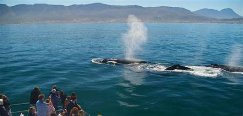 Whale Watching Boat Trips Hermanus