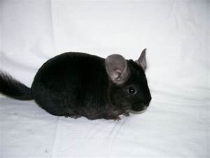 black chinchilla - Bing Images | Must Love All The Animals ...