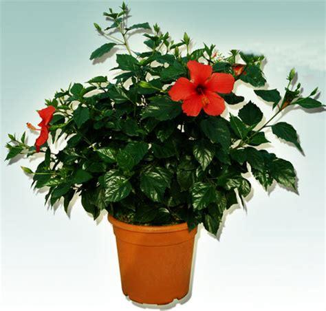plantes de bureau sans soleil plantes de bureau sans soleil quelques pots poss sur le