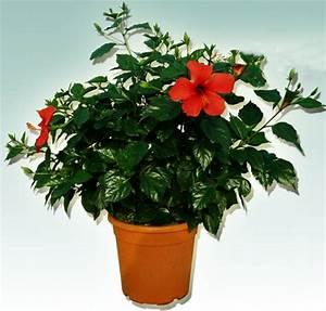 Comment Reconnaitre Un Hibiscus D Intérieur Ou D Extérieur : planter un hibiscus a l 39 exterieur ~ Dallasstarsshop.com Idées de Décoration