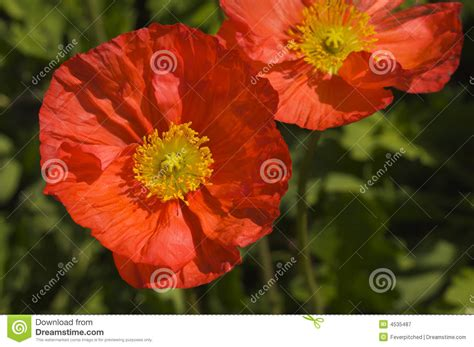 poppy bloom time red iceland poppy bloom stock image image of macro details 4535487