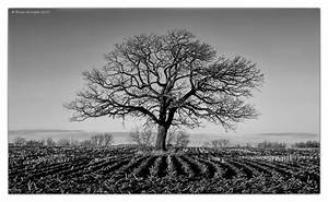 Farm field with a large bur oak tree (Quercus macrocarpa ...