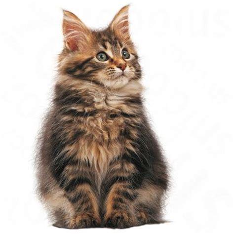 Hill's Feline Kitten, poulet - Croquettes pour chaton