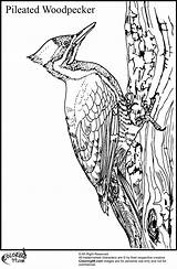 Woodpecker Coloring Pages Cartoon Pileated Woody Bird Colors Hole Different Something sketch template