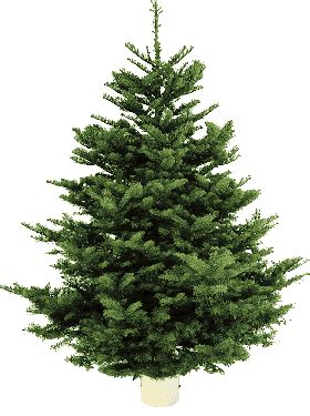 when does costco sell christmas trees costco limited time 7 8 ft noble fir trees 39