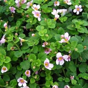 Bacopa - Great Pink Ring | Friends School Plant Sale