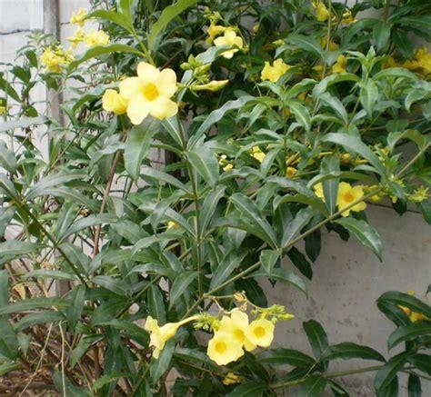 tanaman ginje