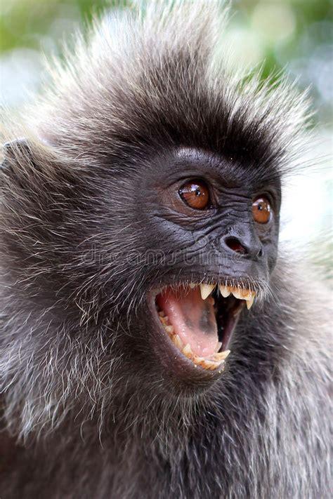 boze aap stock afbeelding afbeelding bestaande uit gegrom