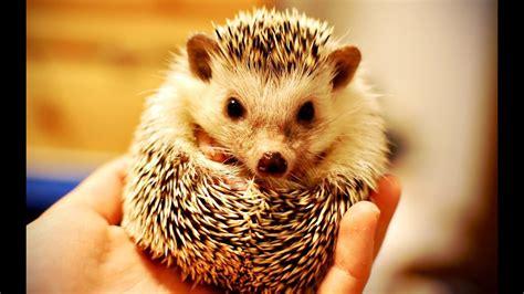 funny  cute hedgehog  compilation   hd
