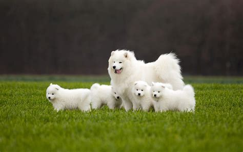 Samoyed P Os Pictures Dog Breed Atlas